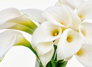 calle calla - cura delle calle e come coltivare la calla in vaso sul balcone o in giardino