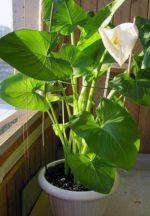 calle vaso - come curare la calla e come coltivare le calle in vaso sul balcone