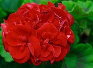 gerani geranio - cura dei gerani e come coltivare i gerani in vaso sul balcone o in giardino