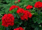 gerani giardino - come curare i gerani e come coltivare i gerani in giardino