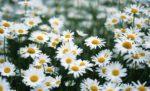 Margherita: come curare e come coltivare le margherite in vaso o in giardino