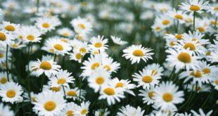 margherite margherita - cura delle margherite e come coltivare le margherite in vaso sul balcone o in giardino