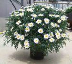 margherite vaso - come curare le margherite in vaso - come coltivare le margherite in vaso sul balcone