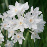 narcisi vaso - come curare i narcisi e come coltivare i narcisi in giardino