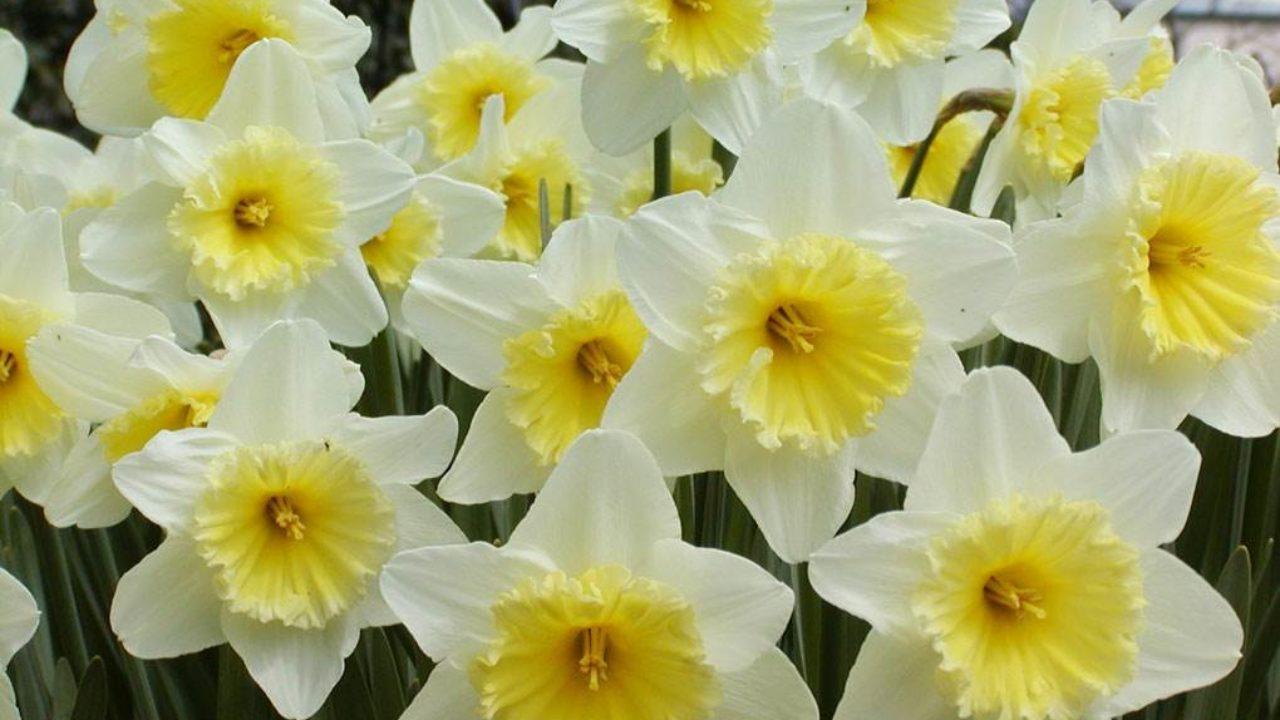 Bulbi Fiori Gialli.Narciso Come Curare E Come Coltivare I Narcisi In Vaso E In Giardino