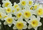 Narciso: come curare e come coltivare i narcisi in vaso e in giardino