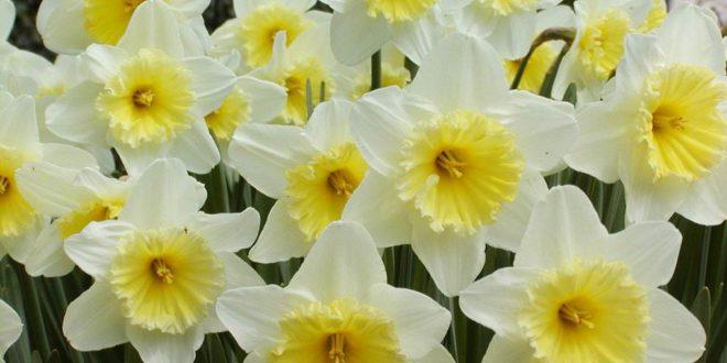 narciso narcisi - come curare i narcisi e come coltivare i narcisi in vaso sul balcone o in giardino