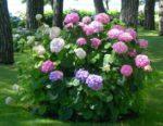 ortensia giardino - come curare le ortensie e come coltivare le ortensie in giardino