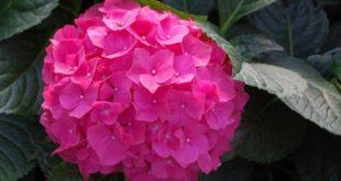 ortensia in vaso o giardino - come curare le ortensie e come coltivare le ortensie in vaso o in giardino