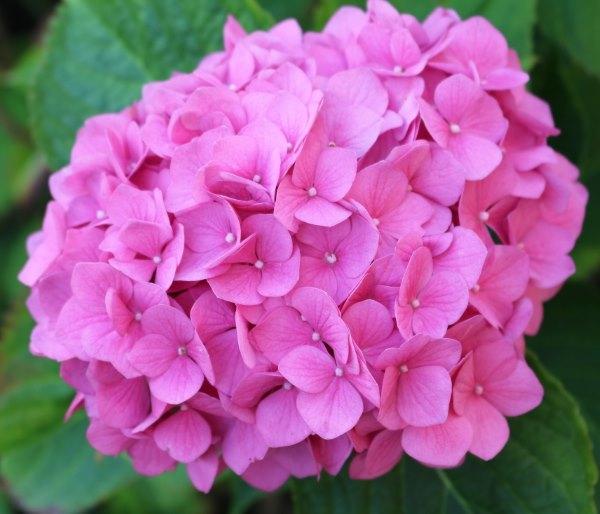 Ortensie Sul Balcone : Ortensia come curare e coltivare le ortensie in vaso