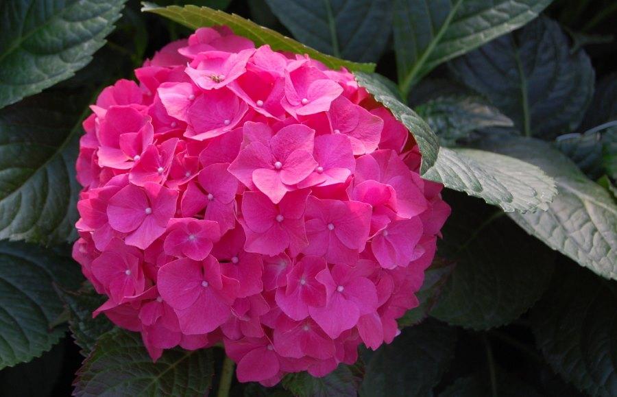 Ortensia: come curare e coltivare le ortensie in vaso e in
