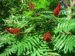 sommacco siciliano pianta e frutto