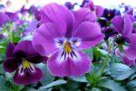 Viola: come curare e coltivare le viole in vaso e in giardino