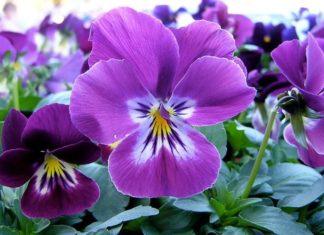 viole viola - come curare le viole e come coltivare le viole in vaso sul balcone o in giardino