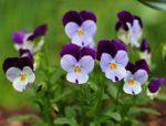 viole vaso - come curare le viole e come coltivare le viole in vaso sul balcone