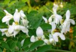Moringa Oleifera: proprietà, benefici, uso e controindicazioni