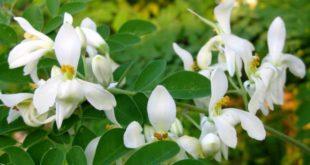 Moringa Oleifera - proprietà benefici per la salute uso tisana di Moringa Oleifera controindicazioni effetti collaterali