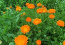 calendula coltivazione - cura delle calendule e come coltivare la calendula in vaso sul balcone o in giardino