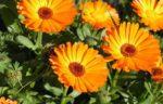 calendula giardino - come curare e come coltivare la calendula in giardino