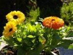 calendula vaso - come curare e come coltivare la calendula in vaso sul balcone