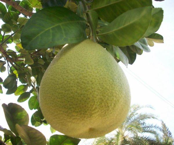pomelo pianta e frutto - come si mangia il pomelo - ricette con il pomelo