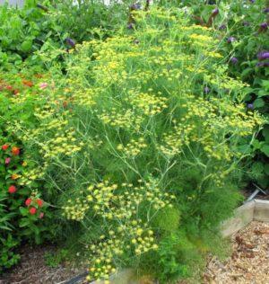 aneto pianta aromatica proprietà e benefici