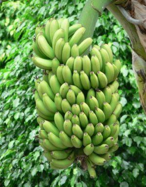 Banane proprietà e benefici per la salute.