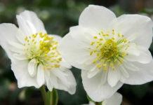 Elleboro - come curare e coltivare gli ellebori in vaso e in giardino.