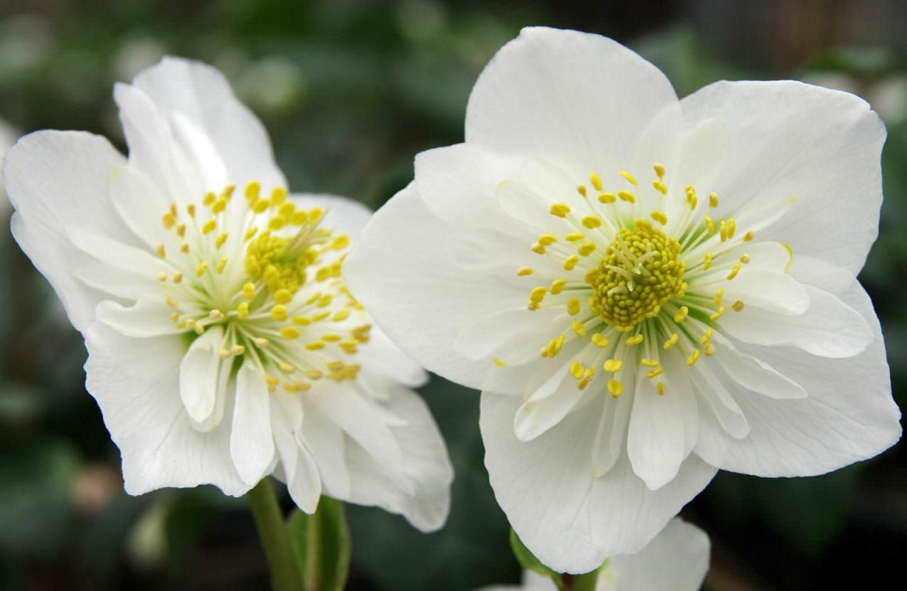 Ortensie Bianche Come Curarle curare le ortensie in vaso. trendy non solo rose pagina