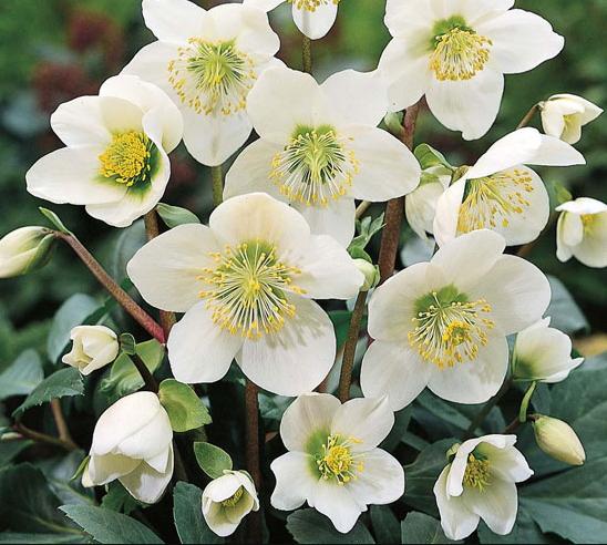 Elleboro come curare e coltivare gli ellebori in vaso e for Nomi di fiori bianchi profumati