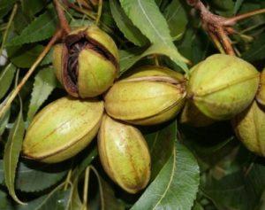 noci pecan proprietà benefici per la salute valori nutrizionali e calorie noci pecan