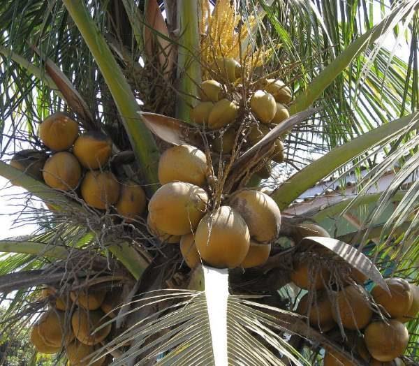 palma da cocco e noci di cocco