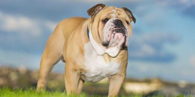 Bulldog inglese: caratteristiche, carattere, prezzo, cure e alimentazione. Simpatico, intelligente e leale il bulldog inglese ha un carattere affettuoso e dedicato a chi lo ama. Scopriamo le caratteristiche del bulldog inglese, il carattere, le cure, cosa mangia e il prezzo.
