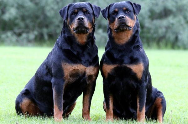 Cane Rottweiler carattere e prezzo