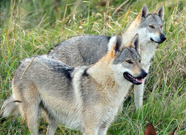 Cane lupo cecoslovacco carattere e prezzo