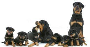Rottweiler: carattere, prezzo, cure e alimentazione. Conosciuto per essere il cane da guardia per eccellenza, il rottweiler è un cane coraggioso, molto protettivo, fedele ed ha un buon rapporto con i bambini.