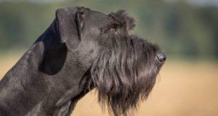 Schnauzer gigante: caratteristiche, carattere, prezzo, cure e alimentazione.Lo Schnauzer gigante è un cane di taglia grande con un carattere fiero, coraggioso, affettuoso e calmo.