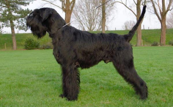 Schnauzer gigante, carattere e prezzo di un cane da difesa intelligente affettuoso e calmo.