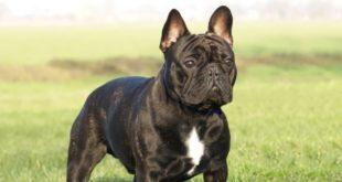 Bulldog francese: caratteristiche, carattere, prezzo, cure e alimentazione. Simpatico e molto intelligente, il bulldog francese ha un carattere affettuoso e e dedicato a chi lo ama. Scopriamo le caratteristiche del bulldog francese, il carattere, le cure, cosa mangia e il prezzo.