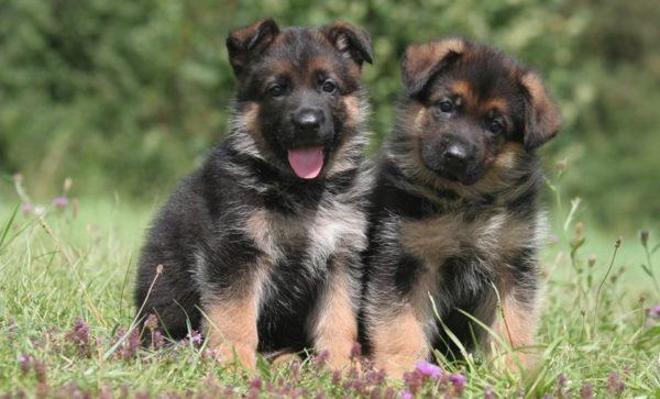 Pastore tedesco cucciolo prezzo, carattere cure e alimentazione