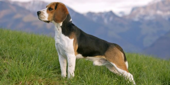 Beagle: caratteristiche, carattere, prezzo, cure e alimentazione. Il Beagle è un cane molto dolce e affettuoso, intelligente, energico, molto allegro, ama correre e farsi coccolare.