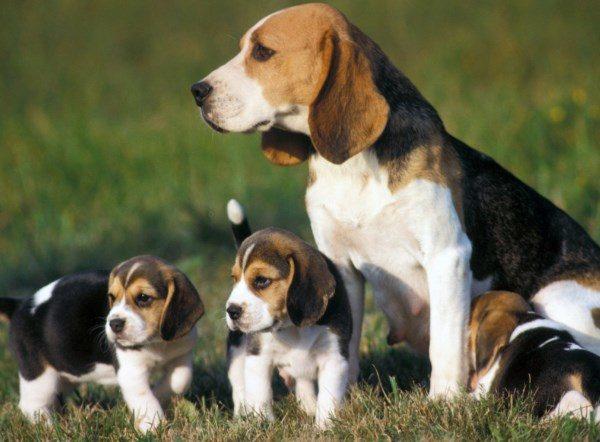 Il carattere del Beagle: inteligente, audace, curioso, molto attivo, allegro capace di grande resistenza e determinazione, amabile e sveglio il beagle non è affatto un cane aggressivo.