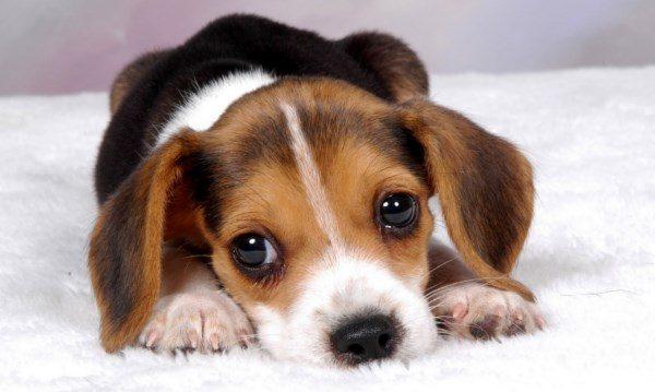 Scopri il prezzo di un cucciolo di Beagle, qual è il miglior cibo per i Beagle, cosa possono mangiare, i cibi da evitare, l'alimentazione corretta e come prendersi cura di un cucciolo di Beagle.
