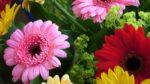 Gerbera: come curare e coltivare le gerbere in vaso e in giardino