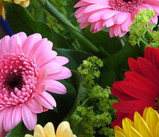 Gerbera: come curare e coltivare le gerbere in vaso e in giardino. Scopri i nostri consigli pratici su come coltivare e prendersi cura delle gerbere, il significato del fiore, quando e come si annaffia e quale terreno è più adatto alla coltivazione della gerbera in vaso o in giardino.