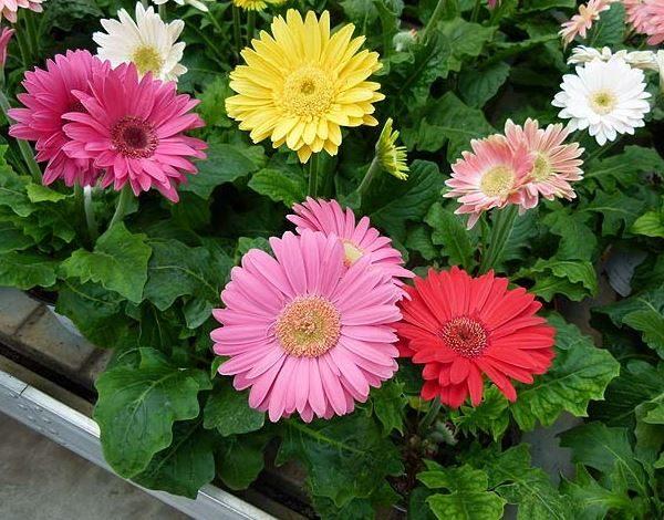 Gerbere in vaso - scopri come curare e come coltivare la gerbera in vaso.