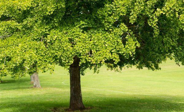 Ginkgo biloba a cosa serve? Ecco le proprietà i benefici e le controindicazioni del Ginkgo biloba.