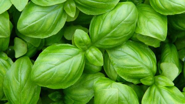 Piante aromatiche indispensabili da coltivare in casa sul balcone Basilico