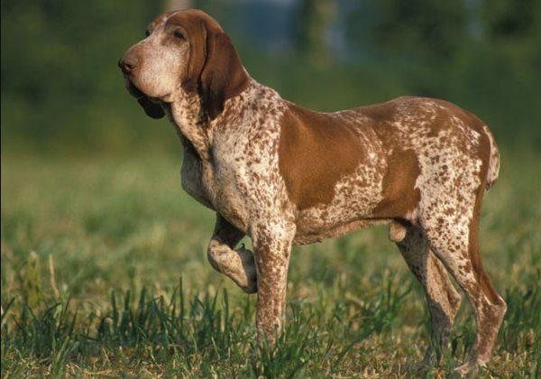 Bracco italiano carattere e prezzo: il bracco italiano è una razza di cani da caccia, di origini italiane molto dolce affettuoso, intelligente ed affidabile.