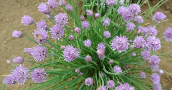 Erba cipollina, ottima pianta aromatica da coltivare in vaso sul balcone di casa.